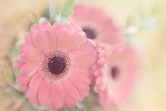 Gerberas (Ro Cafe) Tags: gerberas lensbaby selectivefocus softfocus stilllife sweet50 sweet50macro blur flowers pink soft pastelcolours textured nikond600