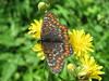 IMG_2721 (FILEminimizer) (bouillons vagabonds) Tags: bosnie lépidoptères rhopalocères