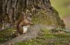 Red Squirrel (Keztik) Tags: wild life wildlife animal nature red squirrel roux écureuil american amérique américain nikon d7500 tamiasciurus hudsonicus québec canada