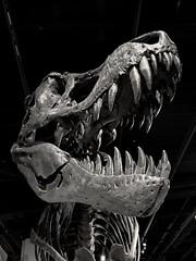 Natural History Museum, Washington DC (citron_smurf) Tags: naturalhistory museum washingtondc washintondc smithsonian downtown nationalmall dinosaur bones bone skull skeleton fossil tyranosaurus rex scary