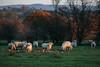 Extra Rations (jayneboo) Tags: 365 farming livestock sheep ewe feeding sugar beet shropshire home