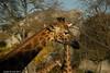 DSC_0179 (nicotr) Tags: 20171122 girafe zoo