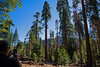 1500 yr old Sequoias (dog97209) Tags: 1500 yr old sequoias high california mountains groove very trees