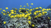 Tangs A Lot (bodiver) Tags: hawaii kailua fins freediving fish ambientlight tangs apnea blue ocean reef wideangle tokina1017mm