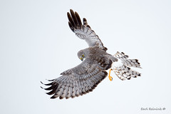 Harrier contortions - top view (Earl Reinink) Tags: bird animal raptor flight birdinflight bordsofontario nikon earl reinink earlreinink hawk harrier northernharrier northernharrierhawk winter white ghost grayghost uzrdzdtdoa macro sky