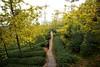 銀杏步道 (風景獵人) Tags: taiwan 台灣 風景 風景獵人 landscape 南投 nantou 銀杏森林 鹿谷 黃 yellow