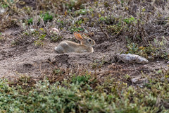 _MG_0050-2.jpg (nbowmanaz) Tags: windcave rabbit southdakota animals