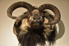 Mutant Goat Head (Amaury Laporte) Tags: europe iceland skogar folkmuseum traditional history