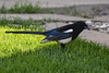 Magpie Neighbour (Vegan Butterfly) Tags: outside outdoor summer city urban edmonton animal bird magpie grass lawn