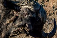 180A6838.jpg (donnatopham) Tags: botswana savute capebuffalo