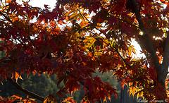 Outono é cor, luz,...,um novo jardim. (marialuísaaraújo) Tags: acerpalmatum outono cor luz beleza