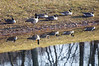 Do You See What I See? (pecooper98362) Tags: binghamton newyork otisiningopark chenengoriver pond geese canadageese brantacandensis uponreflection bothsidesnow doyouseewhatisee lateautumn coldsnap afternoon