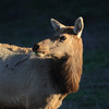 Tule Elk - 1 (fksr) Tags: tuleelk cervuscanadensisnannodes tomalespointtrail pointreyesnationalseashore marincounty female cow california