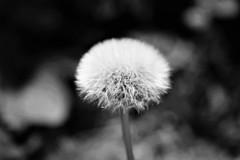 dandelion (andreea_mihailiuc) Tags: macro dandelion nature blackandwhite focus depthoffield andreeamihailiuc nikon nikond3200 nikonphotography 40mmf28 40mm dream relax summer plant