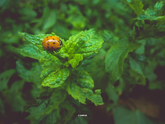 Ladybug (GMPdS) Tags: gabriel moreno gmpds sony dscw610 w610 gabrielmpds green verde plant planta macro close up animal insect inseto garden jardim ladybug joaninha hortela mint