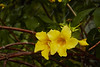 Yellow Alamanda (ronmcmanus1) Tags: antigua caribbean flowersplants jollyharbour stmarysparish antiguabarbuda