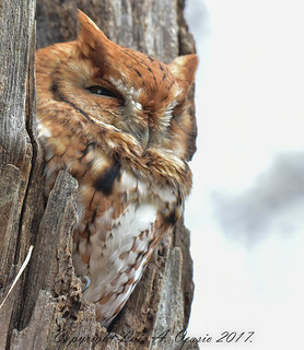 Red Morphed Screech Owl