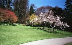 Batsford Arboretum - April 2002 (GrahamStringer) Tags: blossom gloucestershire batsford arboretum