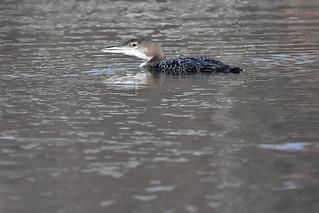 Plongeon huard--Common Loon(Gavia immer)
