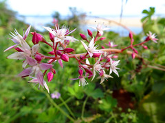 Clifftop view (jo.elphick) Tags: turosshead nsw australia pinkwhiteflowers clifftop macro
