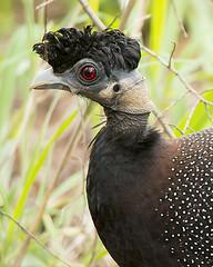 Crested Guineafowl (Rez Mole) Tags: crested guineafowl gutterapucherani