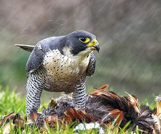 Peregrine Falcon in the rain