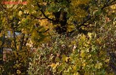 DSC_2477 (Original Loisi) Tags: herbst herbstfarben herbstgold herbsthimmel autumn fall fallcolours autumncolours natur nature wildlife colours farben bunt laub baum bäume forest wald blätter leaves leaf