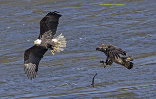 Eagle Adult & Juv. Battle