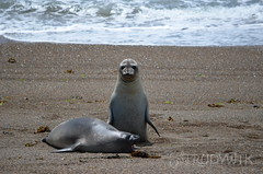 are you looking at me? (Rudy WTK) Tags: wildlife fantasticwildlife lovelyanimals animals seals patagonia argentina nature