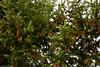 (kayters) Tags: kaytedolmatchphotography kathleendolmatch mttamalpias bayarea marinheadlands pine trees pinecones green nature festive canon california westcoast northerncalifornia