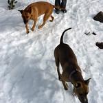 Snow dogs thumbnail