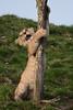 Lion cub @ Wildlands Adventure Zoo Emmen 11-03-2017 (Maxime de Boer) Tags: african lion cub lioness afrikaanse leeuw leeuwin welpje leeuwenwelpje big cats katachtigen wildlands adventure zoo emmen animals dieren dierentuin gods creation schepping genesis