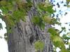 Spot the tree creeper (triciastacey) Tags: treecreeper nikon nikonp900 p900 coolpix nature naturephotography camouflage wildlife bird hide tree countryside