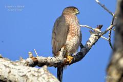 Cooper's Hawk (Edhorton) Tags: corn creek las vegas nevada wildlfie finch dove coopers hawk