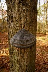 Baumpilz (Lutz Blohm) Tags: waldmotive herbststimmung herbstimpressionen moos pilze baumpilze eichel laub herbst zeissbatis18mmf28 sonyalpha7aii pfälzerwald