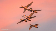 Tundra Swans at Sunset (Bob Gunderson) Tags: birds california centralvalley cygnuscolumbianus northerncalifornia sanjoaquincounty swans tundraswan woodbridgeroad sunrays5