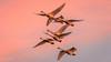 Tundra Swans at Sunset [Explored] (Bob Gunderson) Tags: birds california centralvalley cygnuscolumbianus northerncalifornia sanjoaquincounty swans tundraswan woodbridgeroad sunrays5 coth coth5