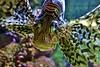 Wilhelma, Feuerfisch , 75711/9194 (roba66) Tags: deutschland germany badwürttemberg stuttgart wilhelma botgarten zoo zoolgarten tierpark roba66 tier tiere animal animals creature fauna fisch underwater aquarium feuerfisch
