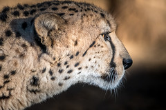 Cheetah in Profile (helenehoffman) Tags: animalambassador mammal acinonyxjubatus wildlife conservationstatusvulnerable felidae bigcat cheetah sandiegozoo feline carnivore cubs africa nature animal