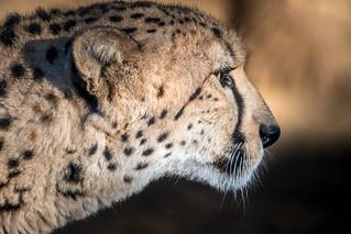 Cheetah in Profile