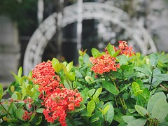 Growth Leaf Flower Fragility Nature Beauty In Nature Plant Freshness Outdoors Day Petal Flower Head No People Green Color Focus On Foreground Close-up Blooming Lantana Camara Red The View And The Spirit Of Taiwan 台灣景 台灣情 The Week On EyeEm EyeEmNewHere Tra (gouken_okina) Tags: growth leaf flower fragility nature beautyinnature plant freshness outdoors day petal flowerhead nopeople greencolor focusonforeground closeup blooming lantanacamara red theviewandthespiritoftaiwan台灣景台灣情 theweekoneyeem eyeemnewhere traveldestinations tree