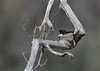 Willie Wagtail (aaardvaark) Tags: 201711101v0a2021williewagtail53x37 williewagtail rhipiduraleucophrys callumbrae cnp canberra act australia