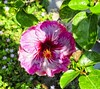 Hibiscus (LarryJay99 ) Tags: hibiscus flowers blooms greenery floridabeaches nature
