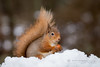 Chilly Red Squirrel (cjdolfin) Tags: highland invernessshire sciurusvulgaris scotland scottish autumn cjdolfin cold food forest mammal nature nut redsquirrel snow tree tufts white wild wildlife winter