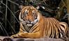 2010_ac_Sumatra Tiger (55) (Wellsman2010) Tags: kuala lumpur asia sumatra animal wildlife nature greenpeace conservation canon 50d 70300 telephoto feline