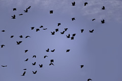 as the crow flies (shannon_blueswf) Tags: crow bird crows birds sky silhouette blue blueskies flies fly flyaway fall autumn nikon nikond3300 nikonphotography nature naturephotography flying soar