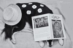 canine surrealism 48/52 (sure2talk) Tags: caninesurrealism taivas finnishlapphund dali surreal surrealist book hat apples blackandwhite imitation tribute nikond7000 nikkor50mmf14gafs we3122017 52weeksfordogs 4852 studio26
