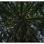 Secuoya  (Sequoia sempervirens) Castelo de Soutomaior thumbnail