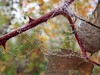 Leaf And Twig Web (Shelley Penner) Tags: autumn webs spiderweb dewy dewdrops raindrops waterdrops thorns blackberry twigs