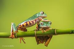 Coming through - Super Tiger Legged Waxy Monkey Leaf Frog D50_8103.jpg (Mobile Lynn) Tags: amphibian frog supertigerleggedwaxymonkeyleaffrog nature captive fauna wildlife bournemouth england unitedkingdom gb coth specanimal coth5 ngc sunrays5 npc